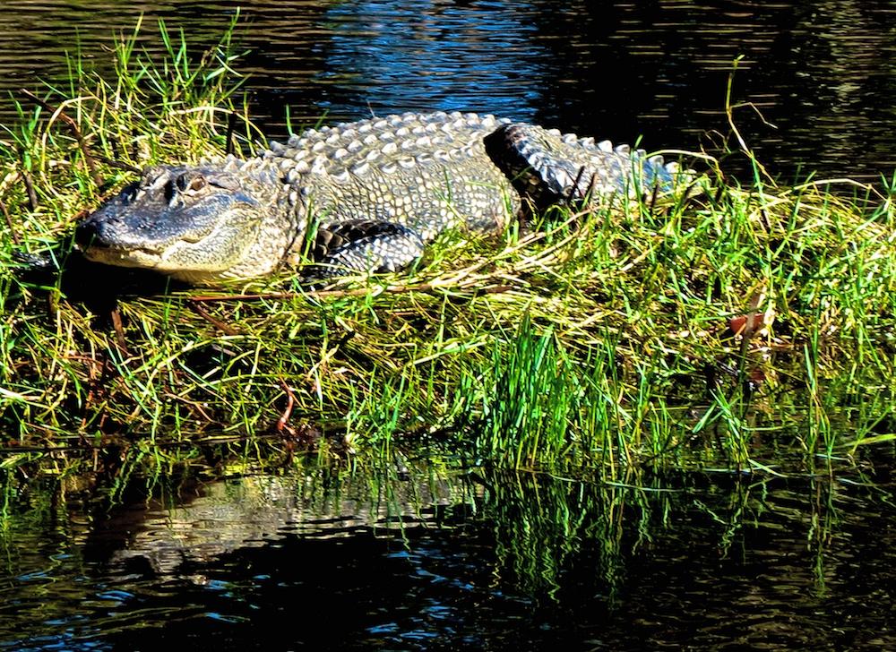 alligator shikoluk
